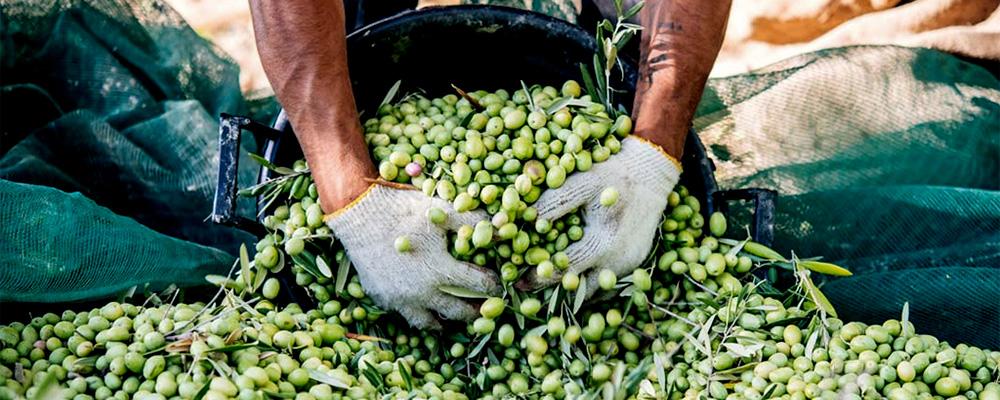 Olive harvester and shaker
